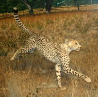 Denver Museum Cheetah 381 by Falln-Stock