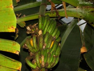 Wild Bananas by Soll-DenneGallery