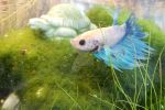 My New Betta by Hederahelix82688