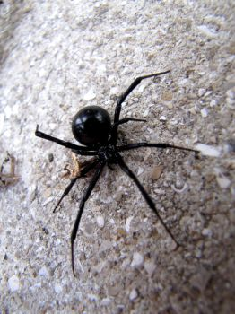 Black Widow by Spiderphotographer