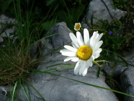 Oxeye Daisy by SelenophiIe
