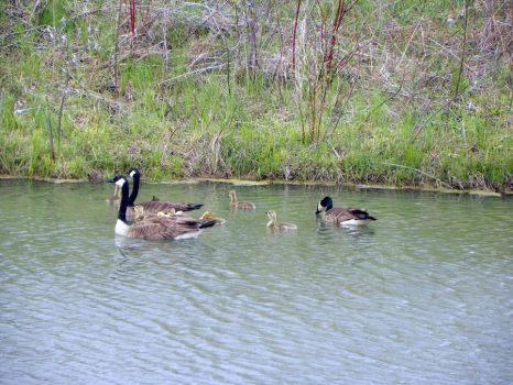 Goose Family 1 by kbcollins