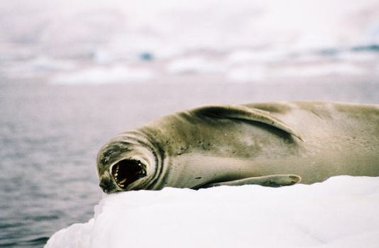 Sleepy Crabeater Seal by Serendith