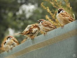 Tree sparrows by resh11ka