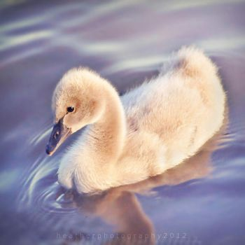 Cygnet by Fwirll
