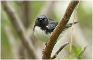 Black-throated Blue Warbler by Ryser915