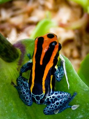 New pets-Poison arrow frogs by jezebel144