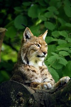 Majestic Lynx by TheEmpatheticCat