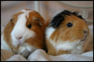 Guineapigs by AWhisperOfLove