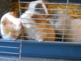 Guinea pigs in their cage by REALMaximumRide