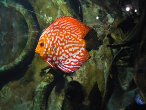 orange fish by EverydayStock