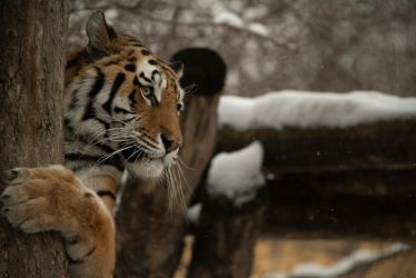 Tiger 37 by Lakela