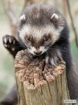 I claim this log in the name of polecat by jaffa-tamarin