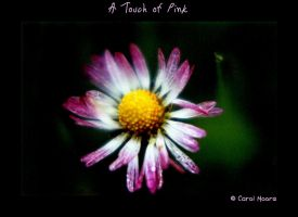 A Touch of Pink by Carol-Moore