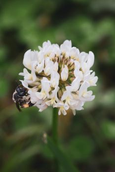 Small Bee with Clover Bloom by Leap