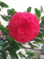 Hot pink rose #1 by Kagome1234545