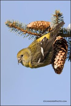 White-Winged Crossbill by gregster09