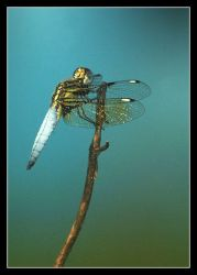 Dragonfly. by chinlop