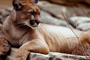 Cougar by Art-Photo