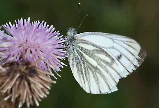 The Green Vien Butterfly and Thistles by Glenn0o7