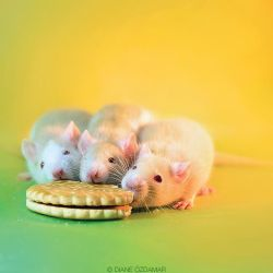 The Three Stooges - Fancy rats by DianePhotos