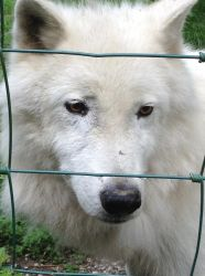 Arctic wolf by EPICNESSwolf