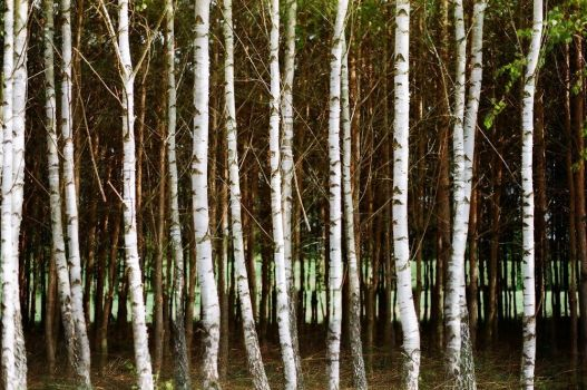hungry birches by myndband