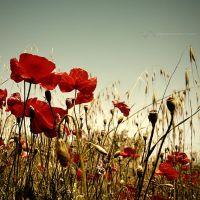 just poppy by st3to