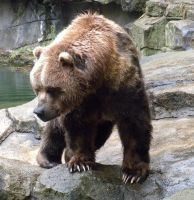 Kodiak Bear 1 by maerocks