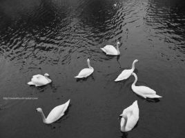 Swans Composition by snowslotus