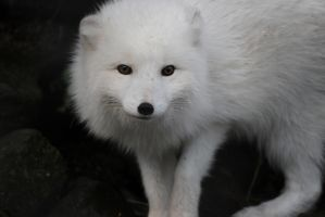 Icelandic Arctic Fox by XantheRowland