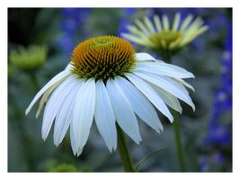 Coneflower by dove-51