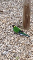 Twenty eight/ringneck parrot by Roses-and-Feathers