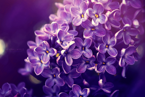 Lilac power by Hersmallworld