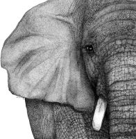 Elephant by dswilliamsart