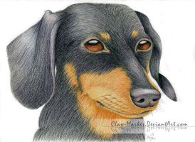 Dachshund - Colored Pencils by Claw-Markes