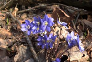 Blue Anemones by w-shadow