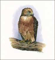 Red-Shouldered Hawk Study by windfalcon