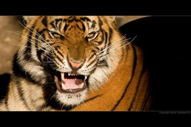 Panthera tigris II by SteveCampbell