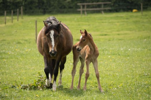 Young Chestnut Foal Stock 13 by Venari-Stock