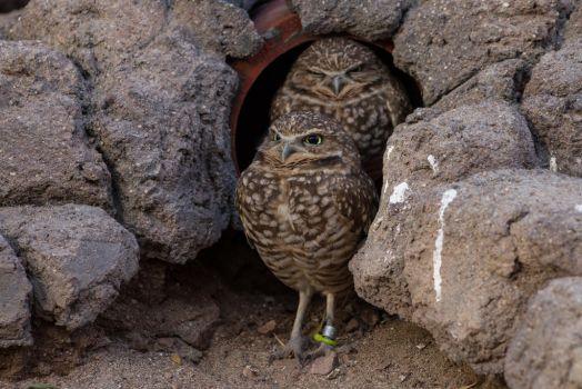Burrowing Owl 2 by CastleGraphics