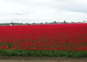 Fields of tulip color 3 by Earthmagic