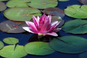 Water Lily by Heidi-V-Art