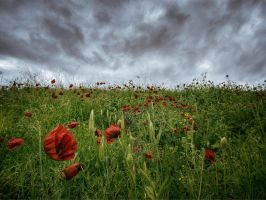 Poppies by Tadobi