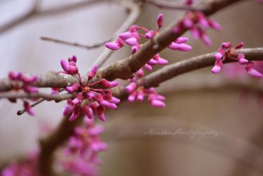 Redbud Tree by LadyElisera