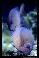Goldspotted Rabbitfish by TVD-Photography