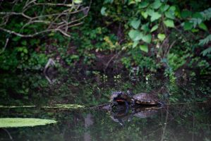Couple of Turtles by BlackRoomPhoto
