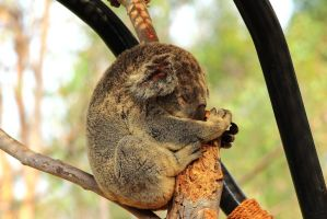Thanksgiving Koala sleeps off a big turkey dinner. by Celem