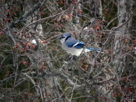 Bluejay. by Sparkle-Photography