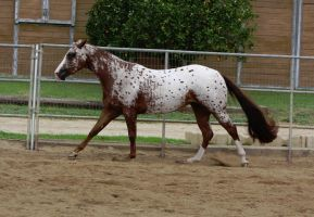 Leopard Appaloosa by FineEquine